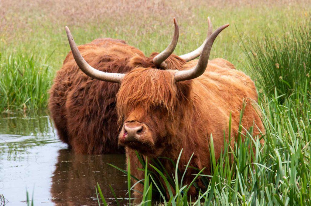 Schotse hooglanders  cp