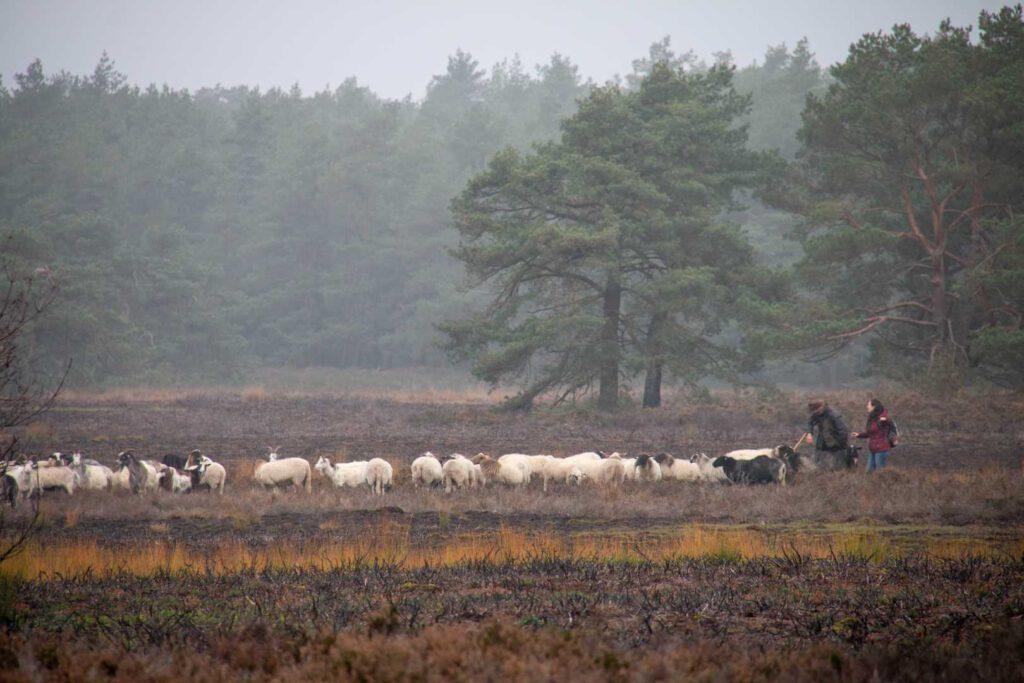 veluwe schapen cp